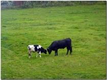 Krowy na pastwisku