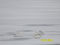 łabędzie- jezioro Kłodno